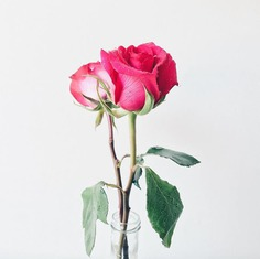 Pink Rose - happy rose day 2020