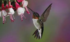 Hummingbirds Flying Beak Flower Background Wallpaper Hd | WallpapersBae
