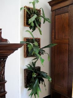 #plants #staghorn #fern