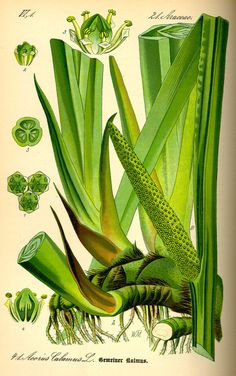 Illustration: Acorus calamus #flora #biology #fauna #botany #illustration #vintage #and
