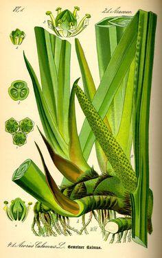 Illustration: Acorus calamus #flora #biology #fauna #botany #illustration #vintage #and