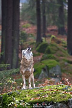 A wolf (Canis lupus) of the Bavarian Forest