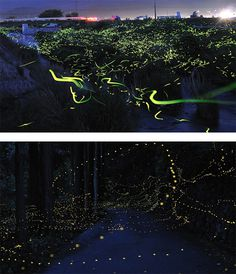 Firefly Trails: Photography by Tsuneaki Hiramatsu #firefly #exposure #photography #long #light #trails
