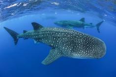 Majestic Underwater Shark Photos by Simon J Pierce
