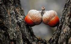 Close Up Acorns