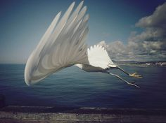 by Shari Diane #moment #egret #wing #bird #flying #flight #feather