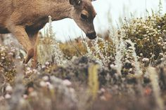 deer #fauna #deer #nature #flowers