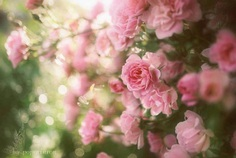 Miniature roses by poporinron