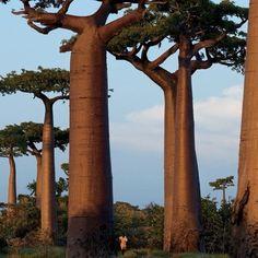 Baobab Tree #baobab #tree