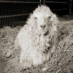 Melvin, Angora Goat, Age 11
