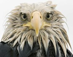 Bold eagle by Klaus Nigge