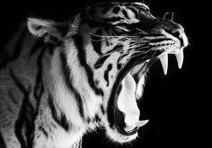 tumblr_lahujsYZJN1qcbrdao1_500.jpg (500×351) #teeth #tiger #fangs #roar