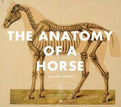 anatomy of horse.gif (469×417) #horse #anatomy #gif