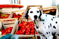 dalmatian | Flickr - Photo Sharing! #dalmatian