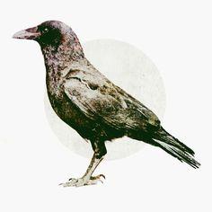 RichieSwims #crow