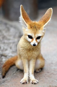 Fennec fox by floridapfe on Flickr. #fennec #sears #fox #photography #cute #animal
