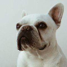 #dog #frenchbulldog #bulldog #friend #animal #eyes