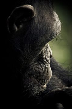 CHIMPANZEE SANCTUARY by Gabi Guiard » Design You Trust – Design and Beyond! #photography #monkey