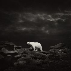 Polar Bear 8306 #bear #polar #photography