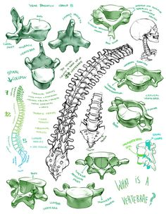 (fryingtoilet: Bone portfolio for LD class from...) #spine #skeleton #biology #drawing #anatomy #illustration #skull #bones #vertebrae #life