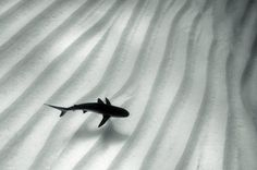 Deepwater shark. #photography #shark