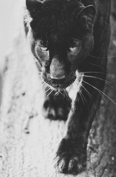 s-a-t-a-n-i: v-i-n-g-a-n-c-a: Instagram: flordemarte Color blog #panter #animal