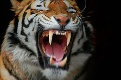 Cacioppe is Italian for Cool - via s3.amazonaws.com #teeth #feline #big #cat #whiskers #jaws #tiger #animal