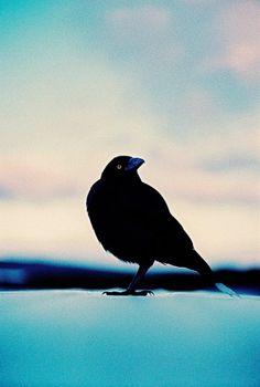 the Sea-Farer (Tasmania by james bowden on Flickr.) #sky #black #fear #wing #eye #nature #blue #raven #birf