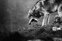 Tumblr #wolf