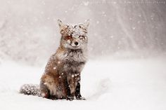 Fox in Winter - Photography by Roeselien Raimond #animal #photography #winter #snow #fox #cold #beauty #fur #blizzard #snowflakes #sears