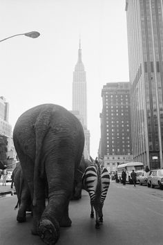 (3) Tumblr #new york #city #animals #elephant #zebra