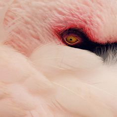 by David Foster Nass #eye #flamingo #floid #feathers
