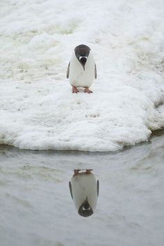 A penguin admires his reflection in Neko Harbour, Antarctic Peninsula. Photo by Anthony Pierce/Barcroft Media.