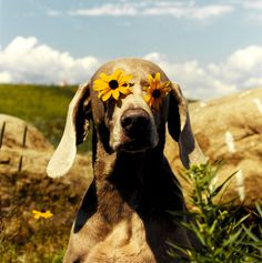 everyday_i_show: photos by William Wegman #photography