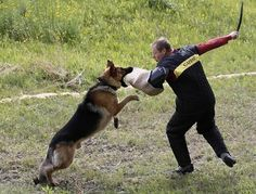 day_photos015--500x380.jpg (JPEG Image, 500x380 pixels) #dog #trainer #attack #shepherd #german #action