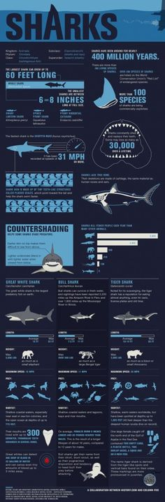 Shark Wranglers — Sharks Infographic — History.com Interactive Games, Maps and Timelines #sharks