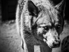 DETHJUNKIE* #wolf