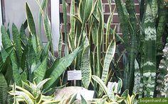 sansevieria cultivars.jpg #ansevieria #plant