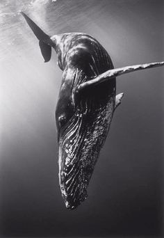 Diving Humpback Whale by Wayne Levin