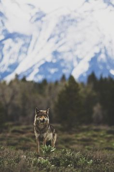 stay groovy #canine #landscape #nature #photography #wolf #predator #animal #dog