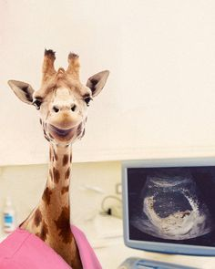 #giraffe #nurse