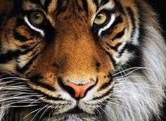 Mylo Xyloto #tiger