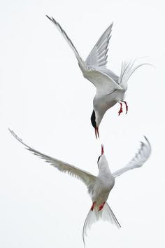 Merde! - Photography (Arctic Terns, via fat-birds) #photography
