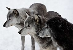 DeadFix » Wolf #wolves #wolf
