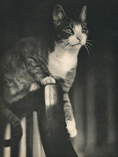 Sam, 1937 #cat #vintage #photograph