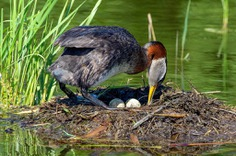 Red-Necked grebe arranging her eggs