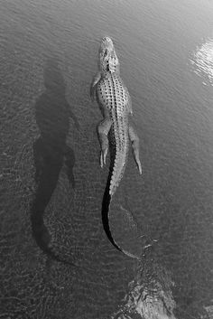 WILD THING: Shell Blues #crocodile #white #black #photography #swim #reptile #and #croc #animal