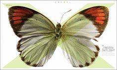 New Work: Exel, Drexel University's Research Magazine | New at Pentagram #drexel #design #butterfly #pentagram #layout