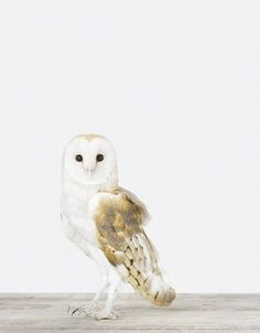 Owl - The Animal Print Shop - Sharon Montrose - Animal Photos - Wildlife Photography - Limited Edition Prints - Wall Decor -Gift Ideas - Uni