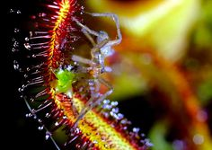 Macro Photos of Carnivora Gardinum Plant by Chris Field #MacroNature